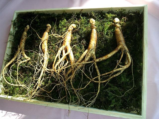 kořeny ženšenu